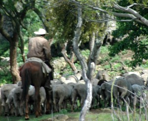 shepherdhorse