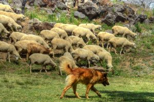 ShepherdDogSmall